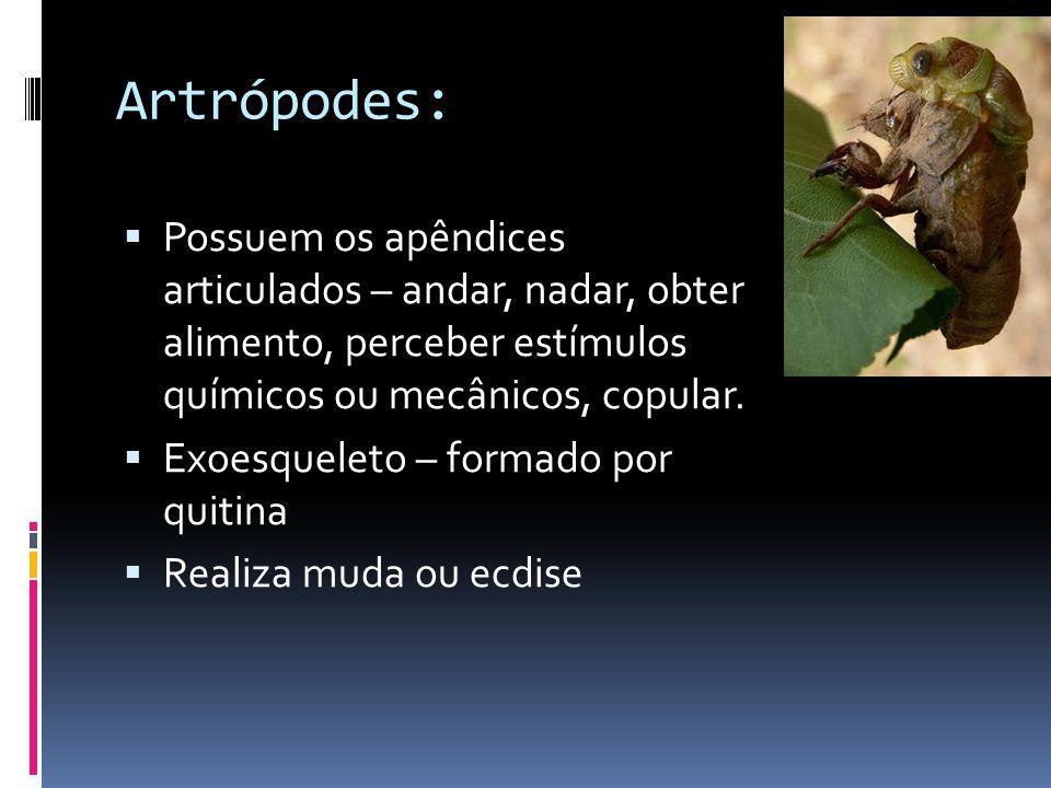 Artrópodes: Possuem os apêndices articulados – andar, nadar, obter alimento, perceber estímulos químicos ou mecânicos, copular.