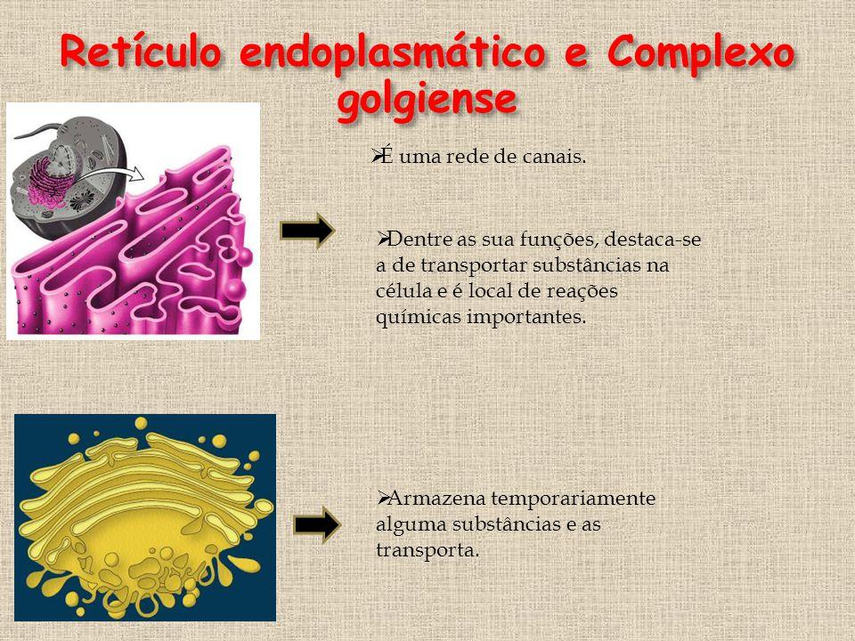Retículo endoplasmático e Complexo golgiense