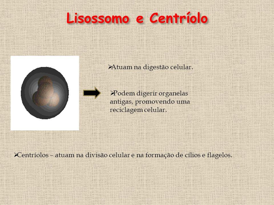 Lisossomo e Centríolo Atuam na digestão celular.