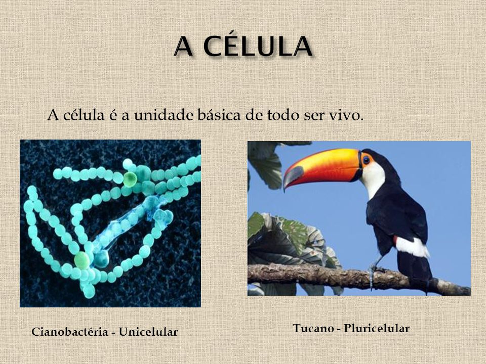 Cianobactéria - Unicelular