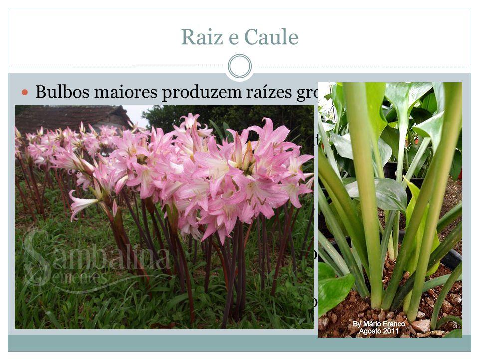 Raiz e Caule Bulbos maiores produzem raízes grossas e profundas