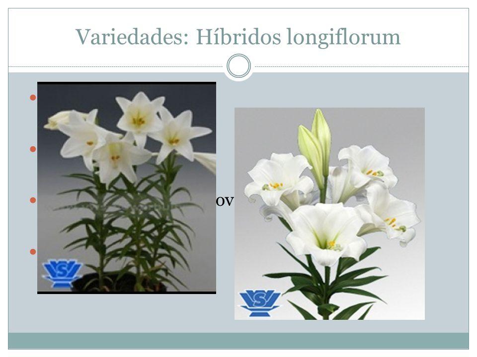 Variedades: Híbridos longiflorum
