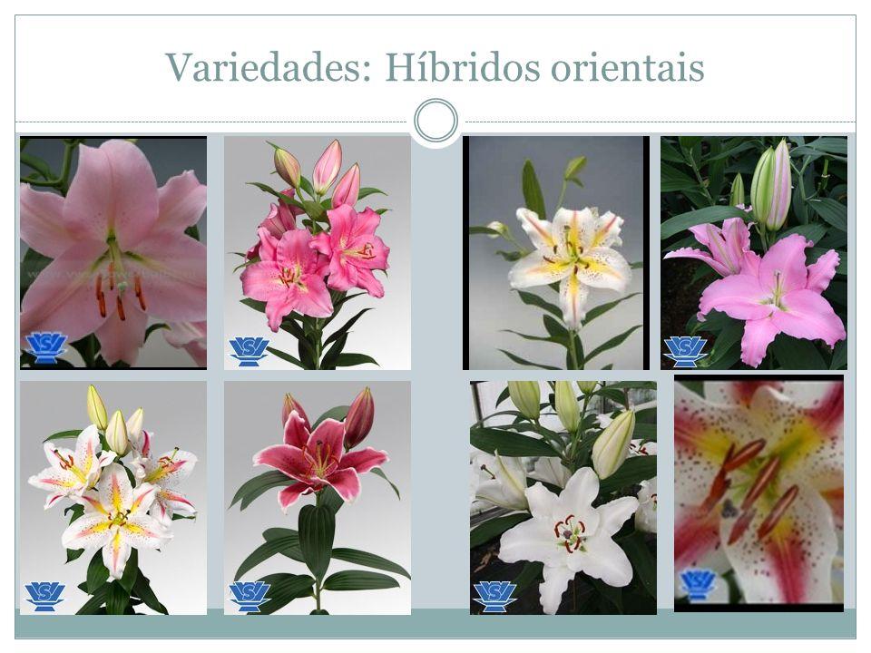 Variedades: Híbridos orientais