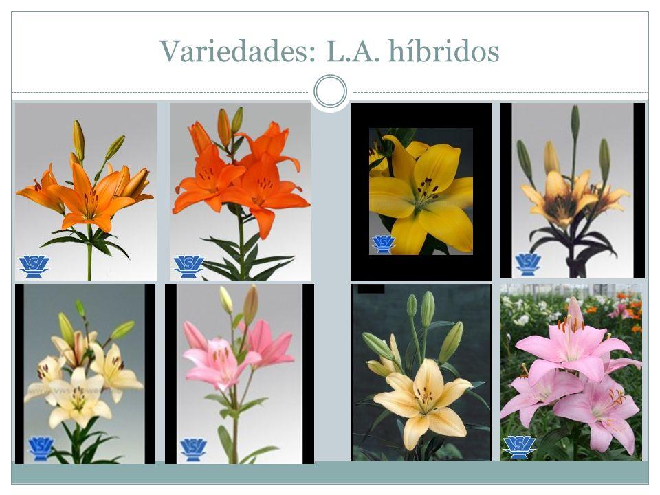 Variedades: L.A. híbridos