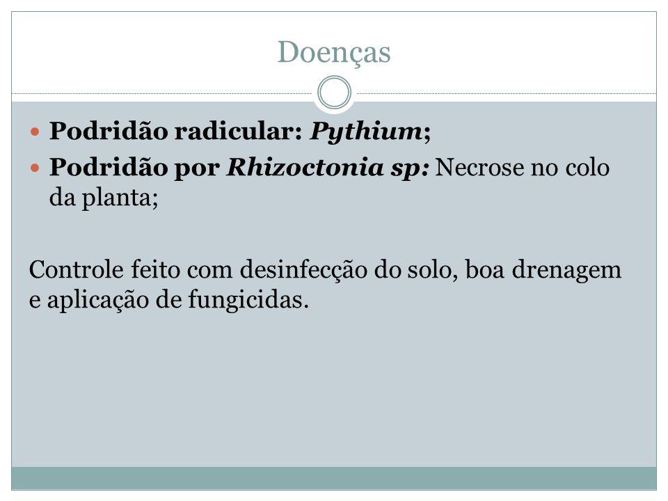 Doenças Podridão radicular: Pythium;