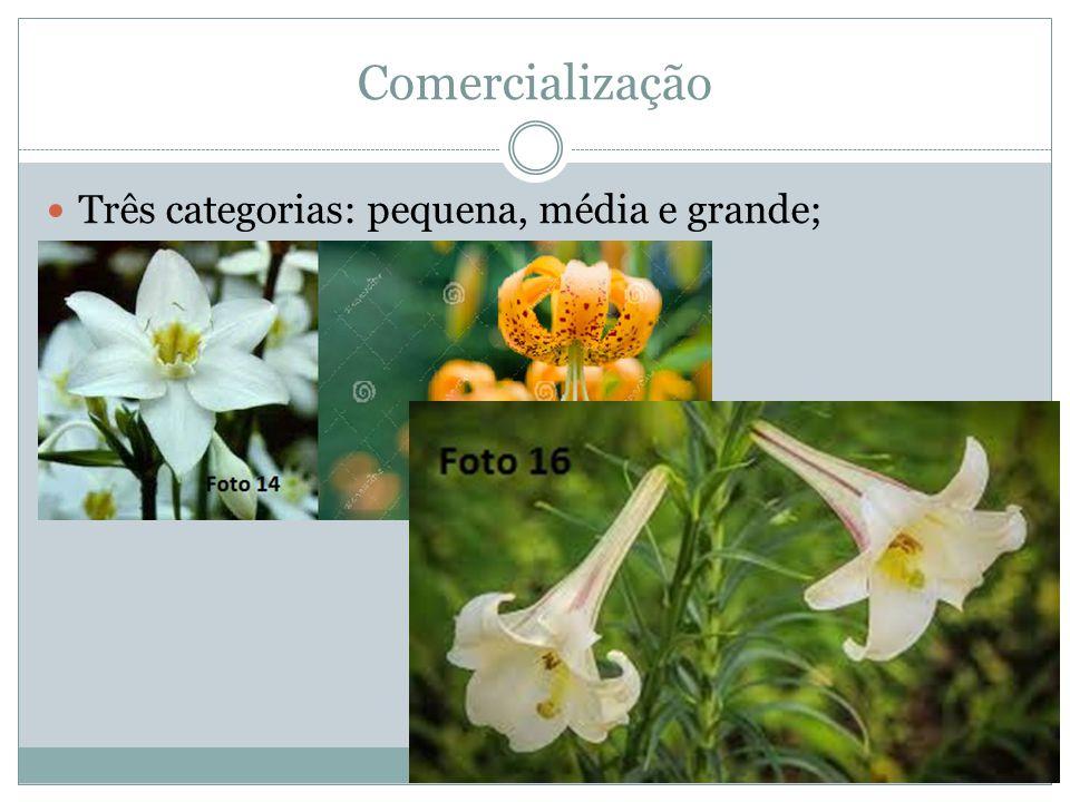 Comercialização Três categorias: pequena, média e grande;