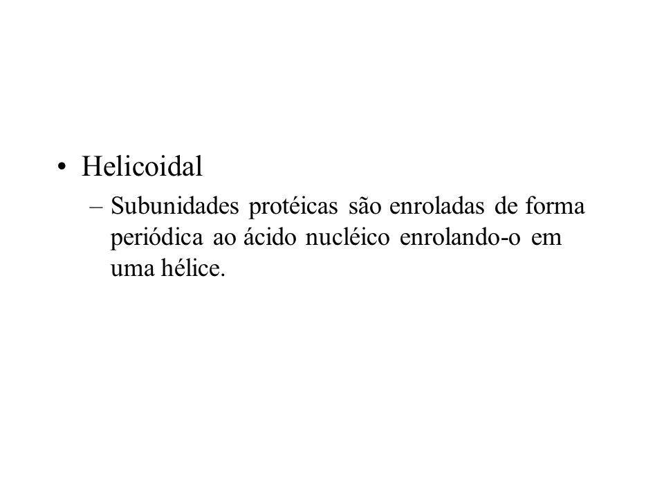 Helicoidal Subunidades protéicas são enroladas de forma periódica ao ácido nucléico enrolando-o em uma hélice.