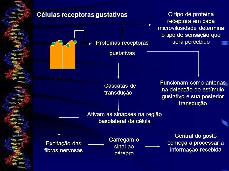 Células receptoras gustativas