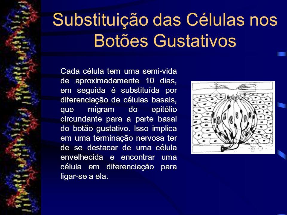 Substituição das Células nos Botões Gustativos