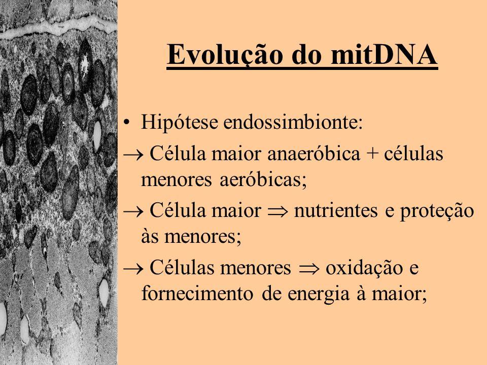 Evolução do mitDNA Hipótese endossimbionte: