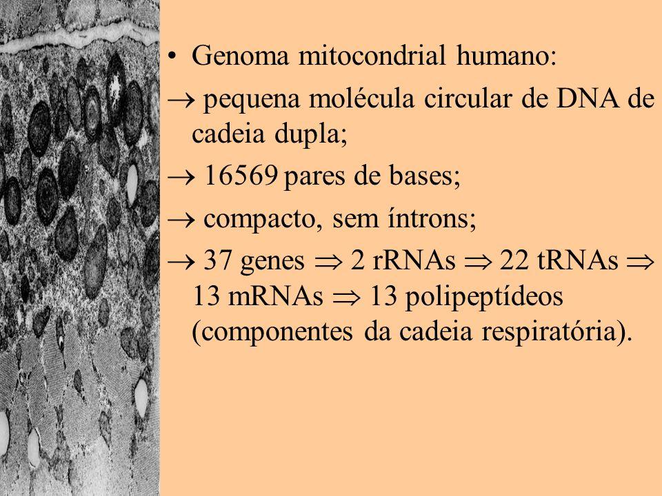 Genoma mitocondrial humano: