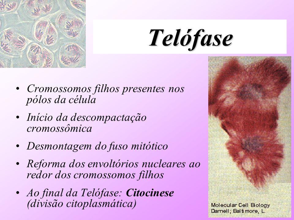 Telófase Cromossomos filhos presentes nos pólos da célula