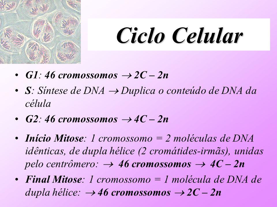 Ciclo Celular G1: 46 cromossomos  2C – 2n