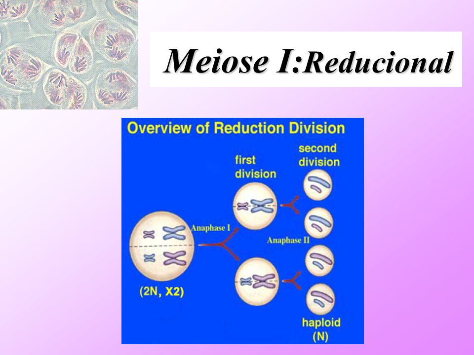 Meiose I:Reducional