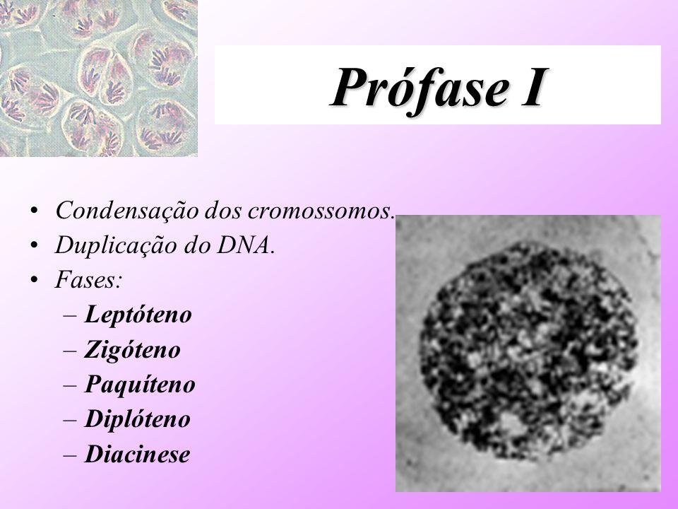 Prófase I Condensação dos cromossomos. Duplicação do DNA. Fases: