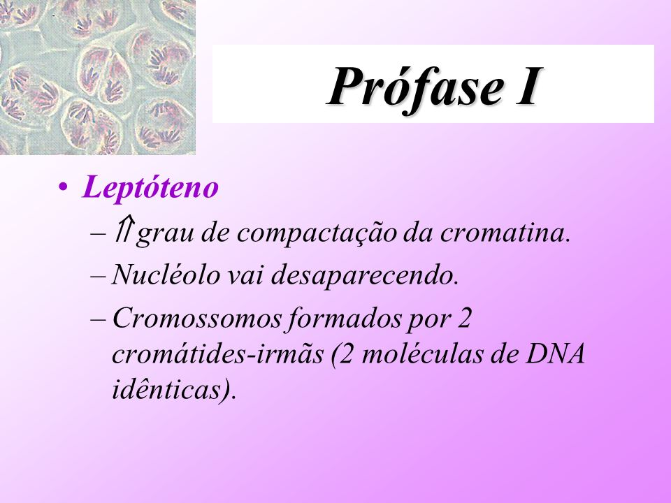 Prófase I Leptóteno  grau de compactação da cromatina.
