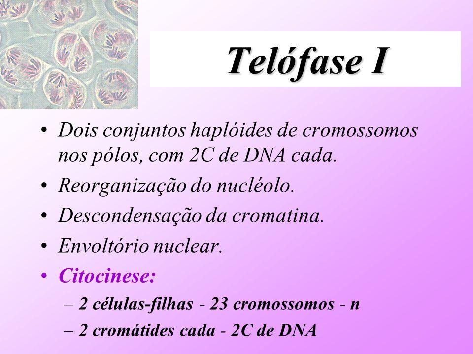 Telófase I Dois conjuntos haplóides de cromossomos nos pólos, com 2C de DNA cada. Reorganização do nucléolo.