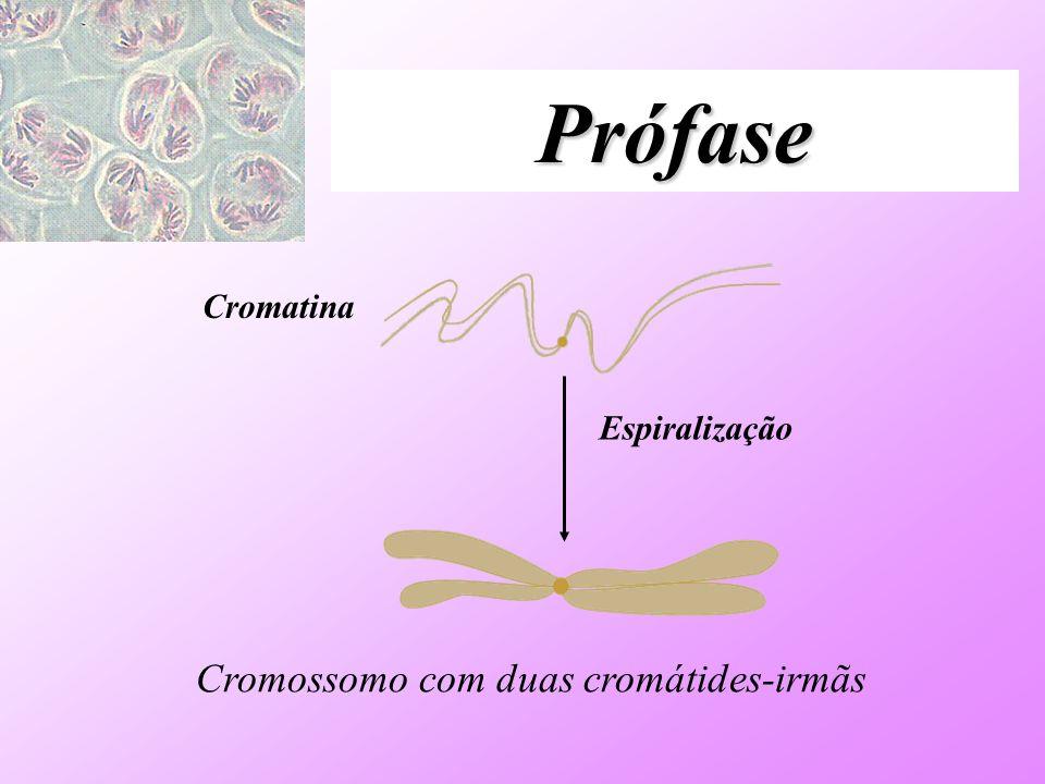 Prófase Cromatina Espiralização Cromossomo com duas cromátides-irmãs