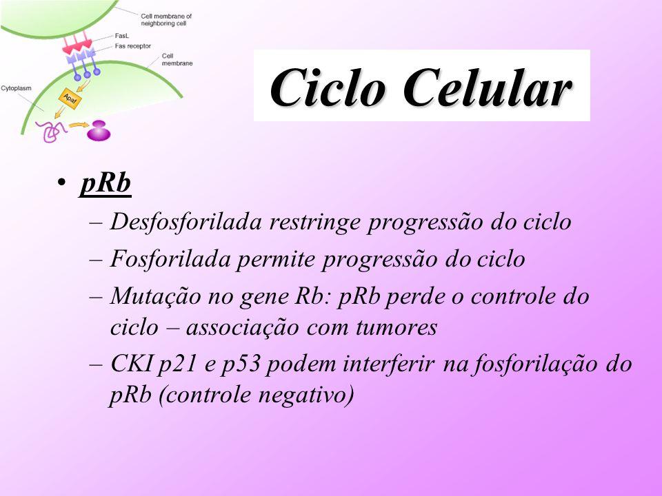 Ciclo Celular pRb Desfosforilada restringe progressão do ciclo