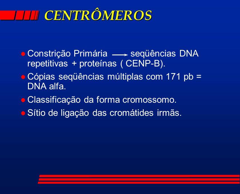 CENTRÔMEROS Constrição Primária seqüências DNA repetitivas + proteínas ( CENP-B). Cópias seqüências múltiplas com 171 pb = DNA alfa.