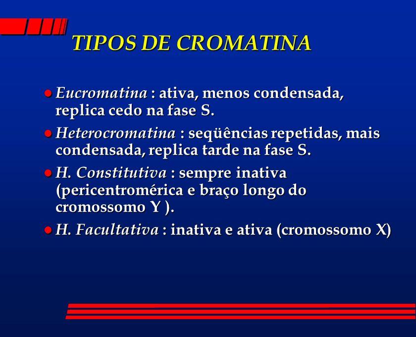 TIPOS DE CROMATINA Eucromatina : ativa, menos condensada, replica cedo na fase S.
