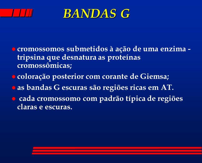 BANDAS Gcromossomos submetidos à ação de uma enzima - tripsina que desnatura as proteínas cromossômicas;
