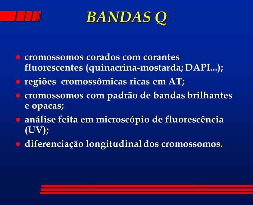 BANDAS Qcromossomos corados com corantes fluorescentes (quinacrina-mostarda; DAPI...); regiões cromossômicas ricas em AT;