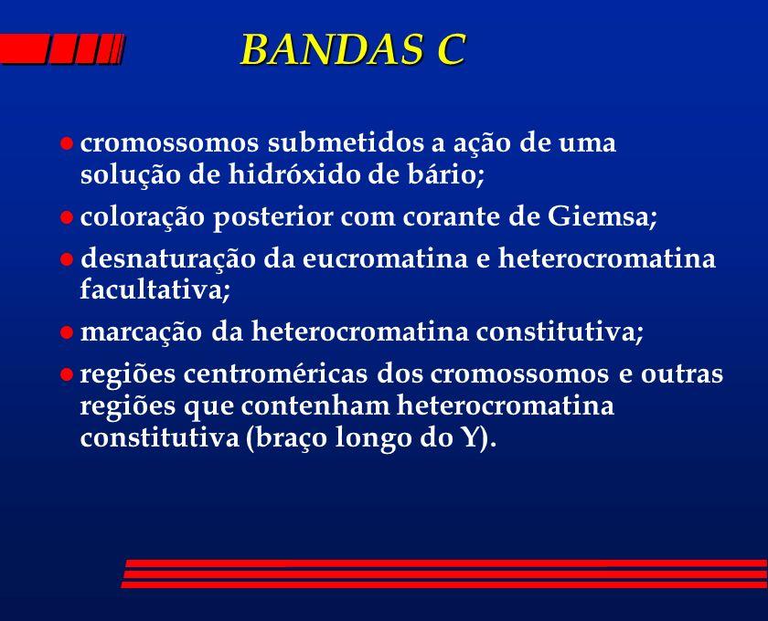 BANDAS Ccromossomos submetidos a ação de uma solução de hidróxido de bário; coloração posterior com corante de Giemsa;