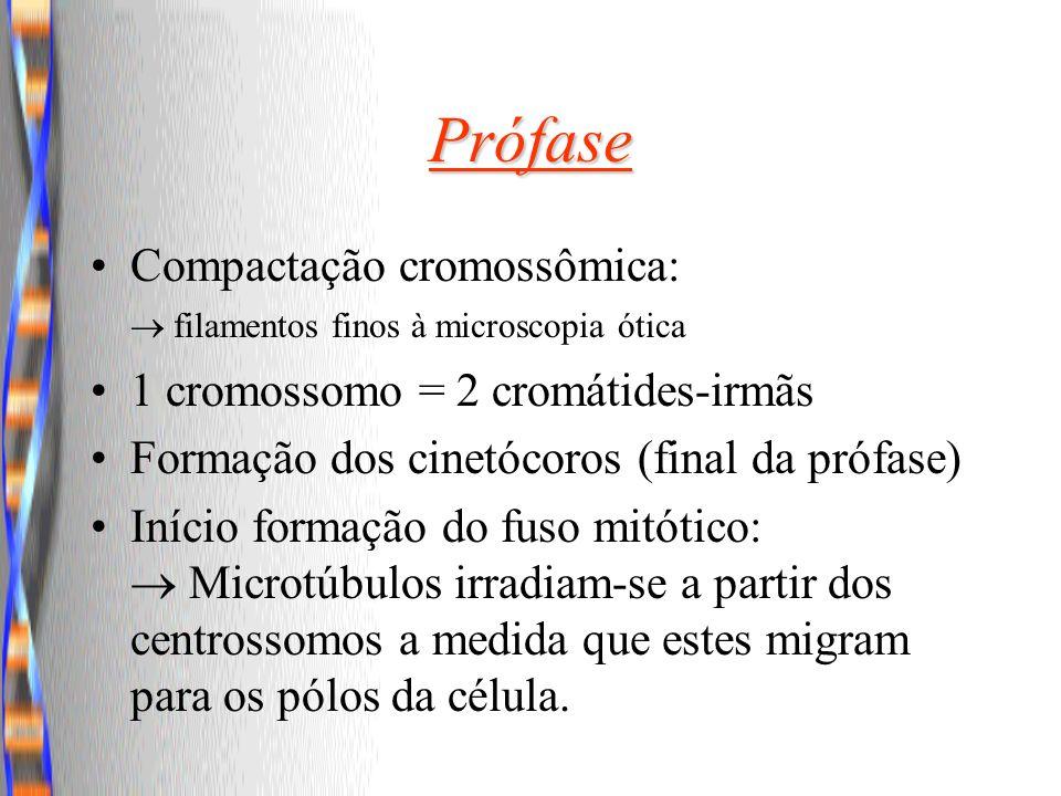 Prófase Compactação cromossômica:  filamentos finos à microscopia ótica. 1 cromossomo = 2 cromátides-irmãs.