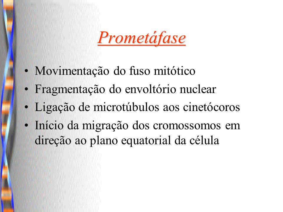 Prometáfase Movimentação do fuso mitótico