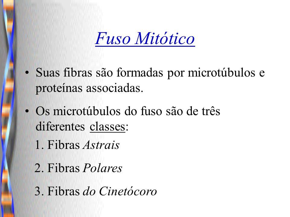 Fuso Mitótico Suas fibras são formadas por microtúbulos e proteínas associadas. Os microtúbulos do fuso são de três diferentes classes: