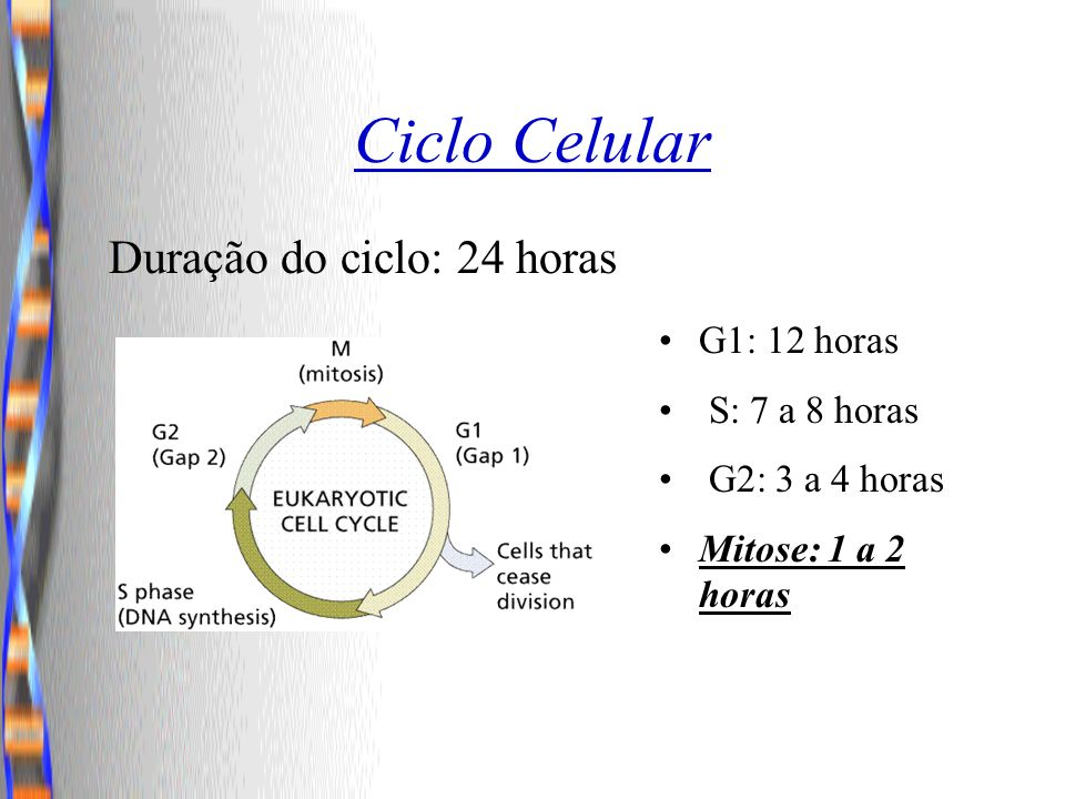 Ciclo Celular Duração do ciclo: 24 horas G1: 12 horas S: 7 a 8 horas
