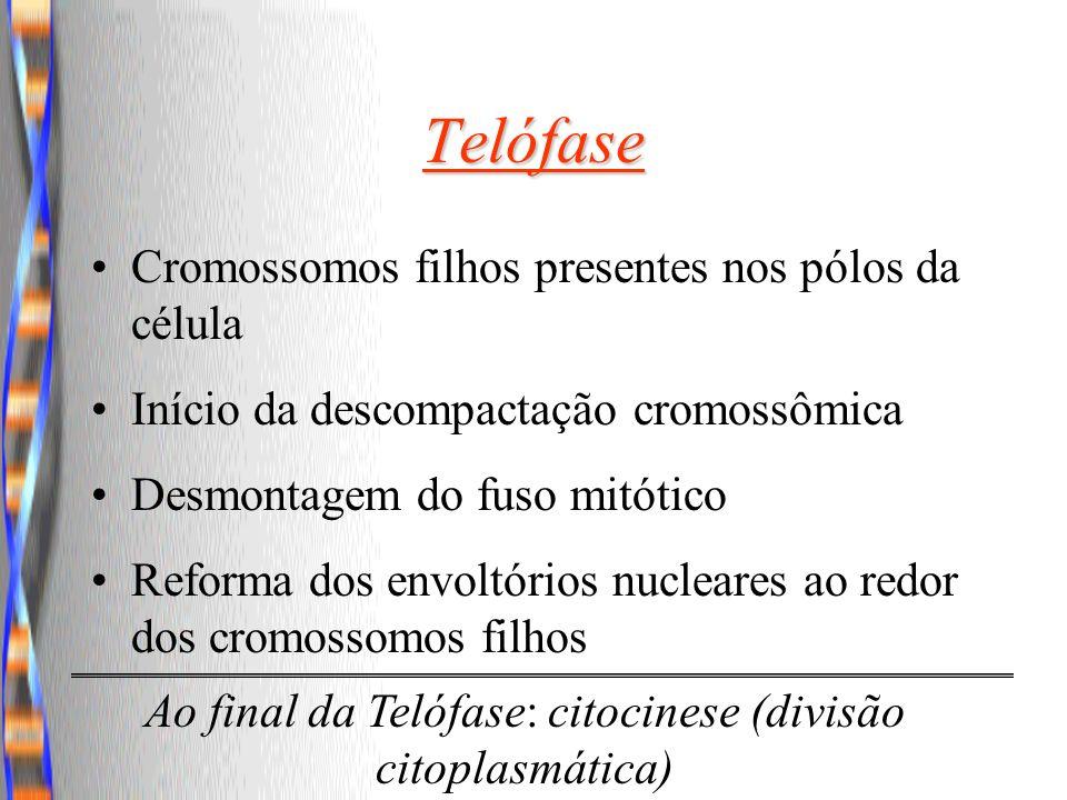 Ao final da Telófase: citocinese (divisão citoplasmática)
