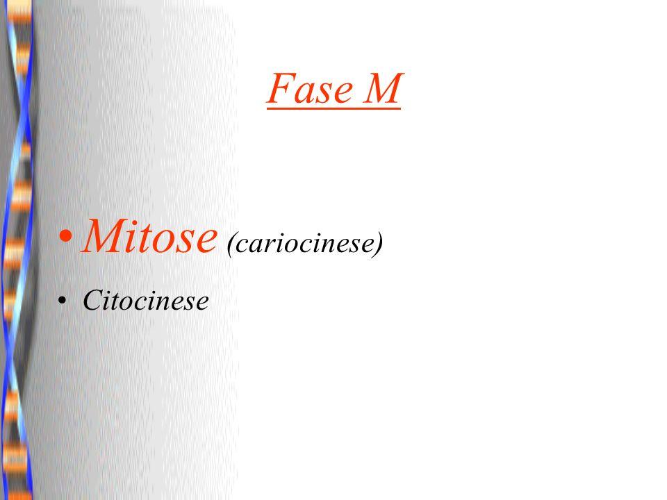 Fase M Mitose (cariocinese) Citocinese