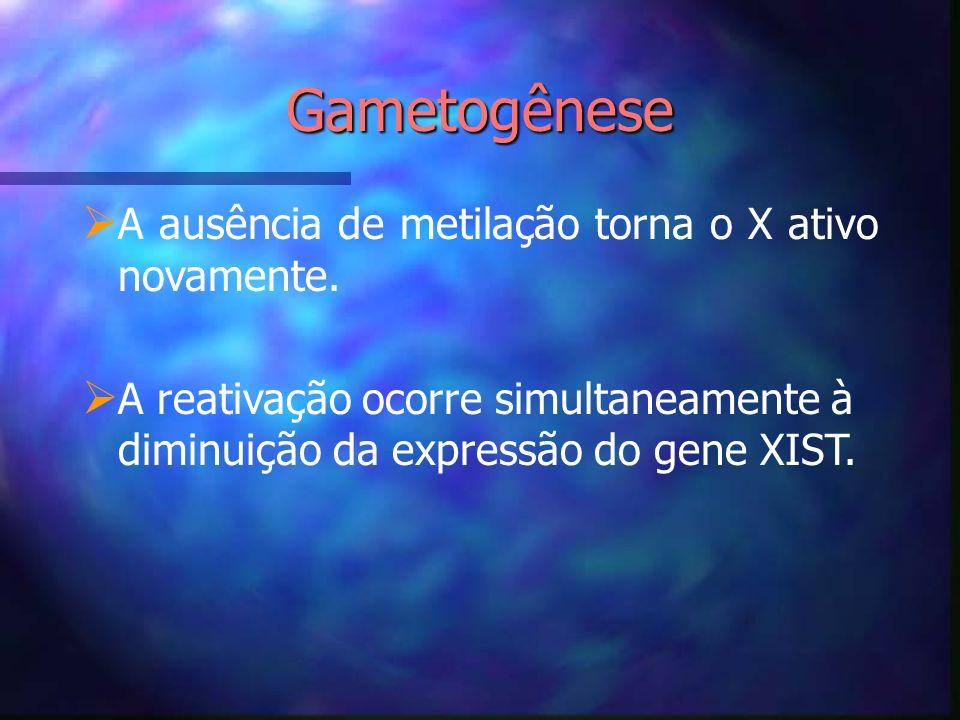 Gametogênese A ausência de metilação torna o X ativo novamente.
