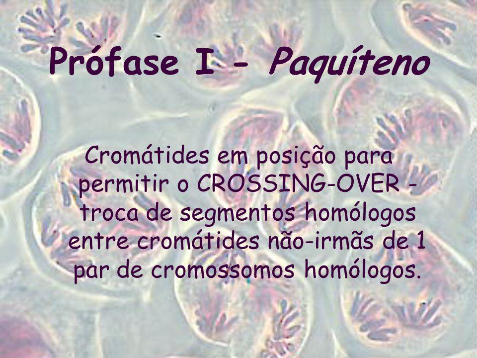 Prófase I - Paquíteno