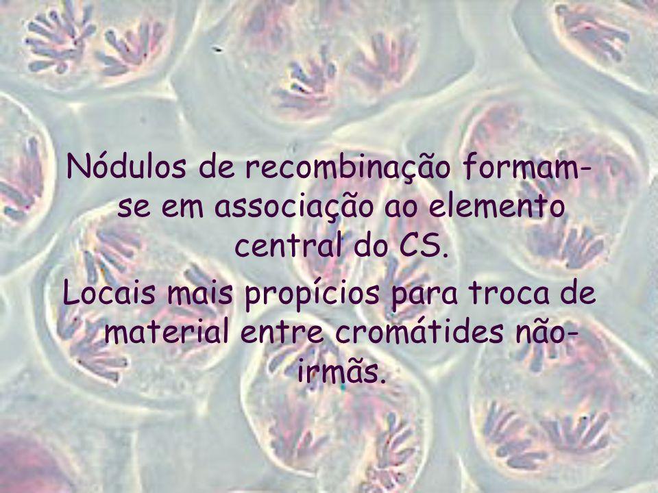 Nódulos de recombinação formam-se em associação ao elemento central do CS.