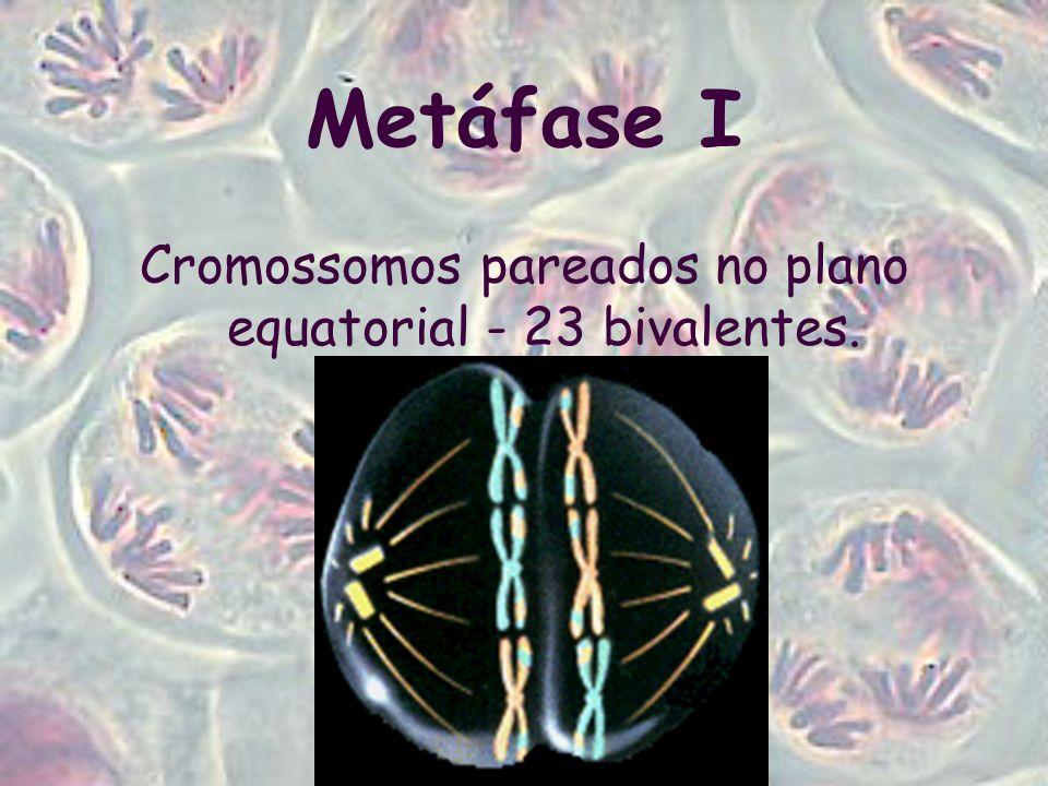 Cromossomos pareados no plano equatorial - 23 bivalentes.