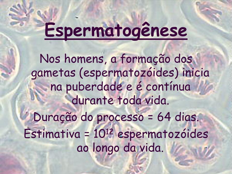 Espermatogênese Nos homens, a formação dos gametas (espermatozóides) inicia na puberdade e é contínua durante toda vida.