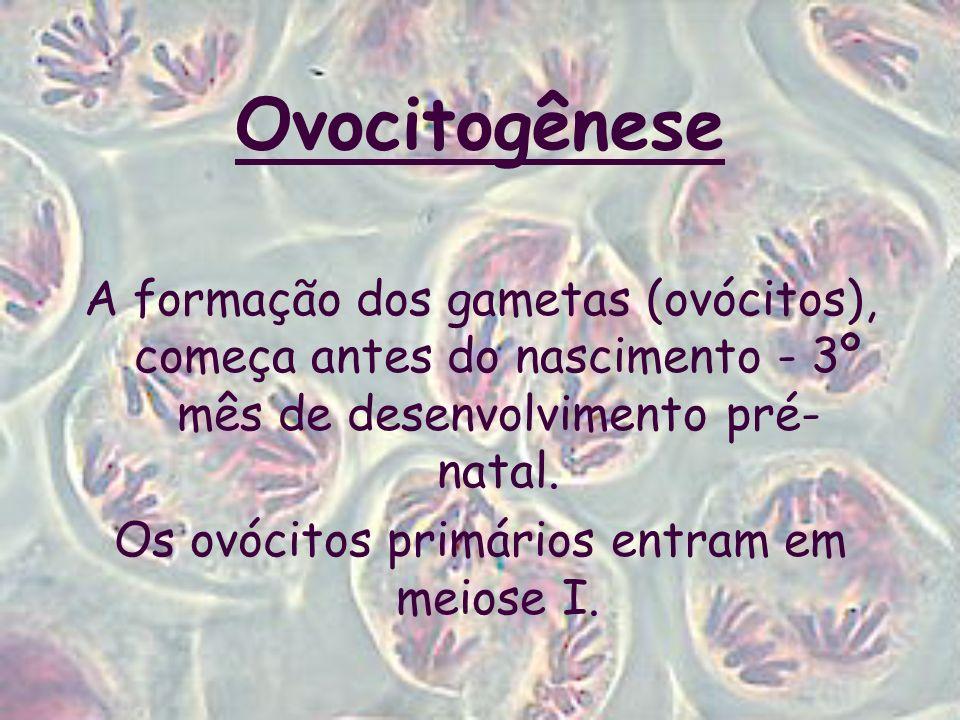 Os ovócitos primários entram em meiose I.