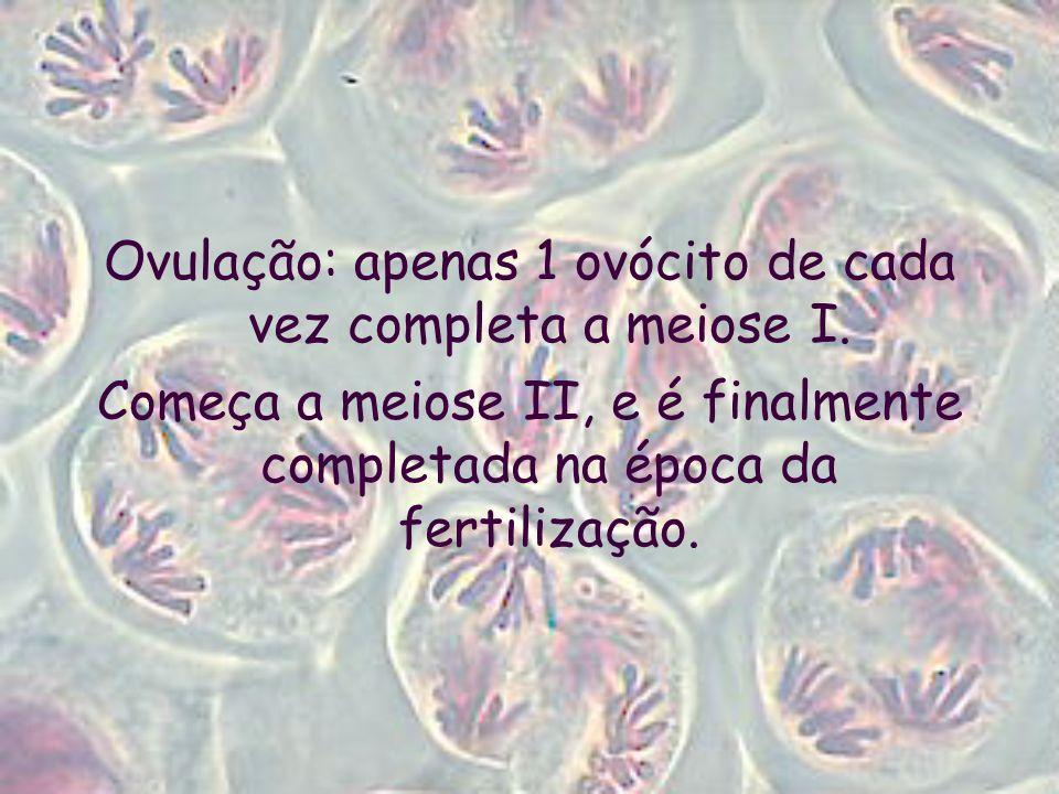 Ovulação: apenas 1 ovócito de cada vez completa a meiose I.