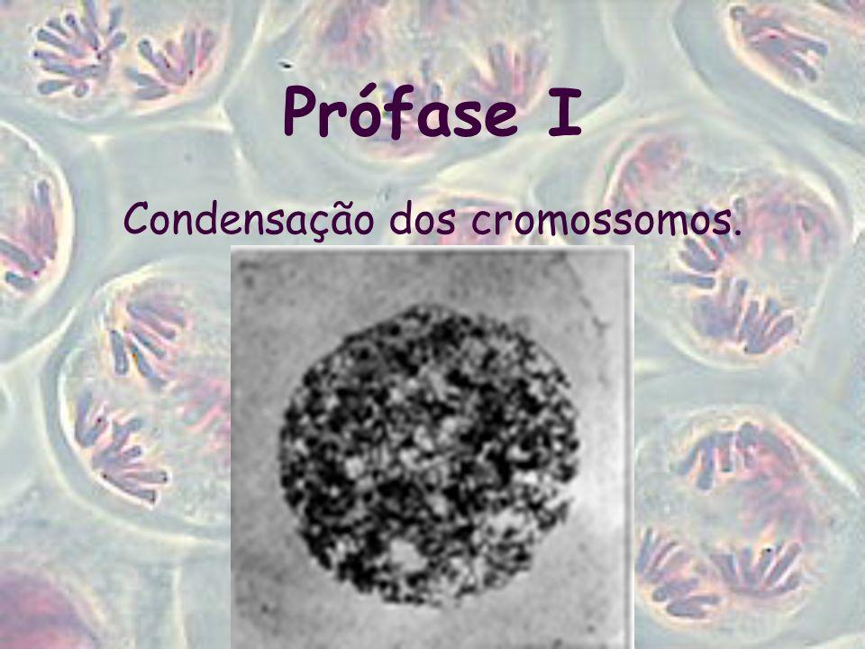 Condensação dos cromossomos.