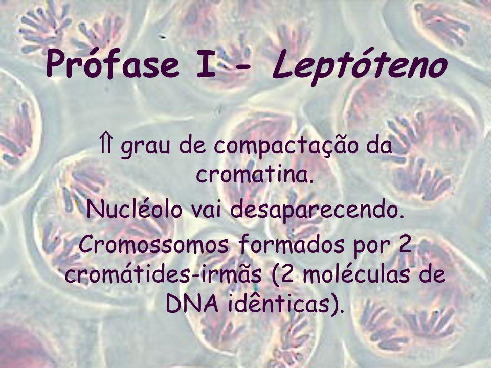 Prófase I - Leptóteno  grau de compactação da cromatina.