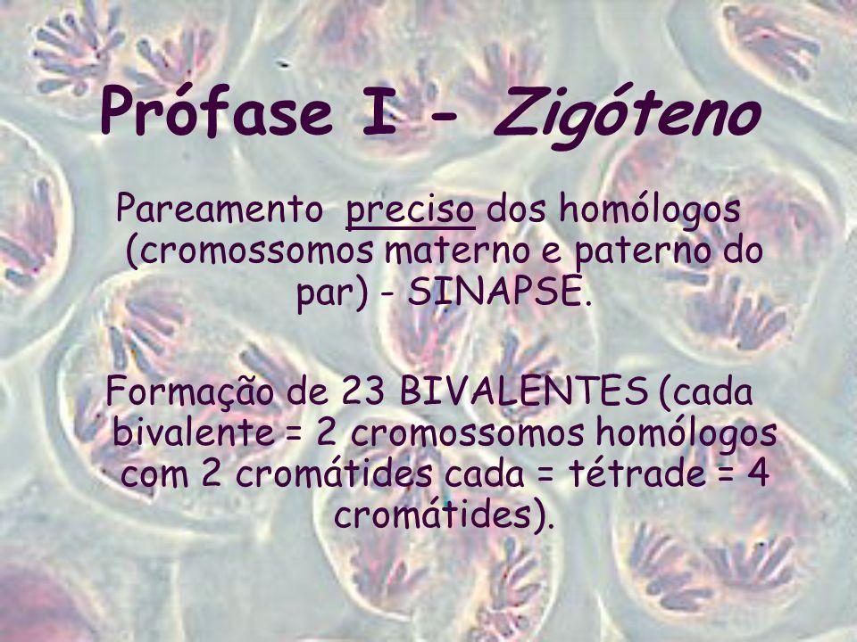 Prófase I - Zigóteno Pareamento preciso dos homólogos (cromossomos materno e paterno do par) - SINAPSE.