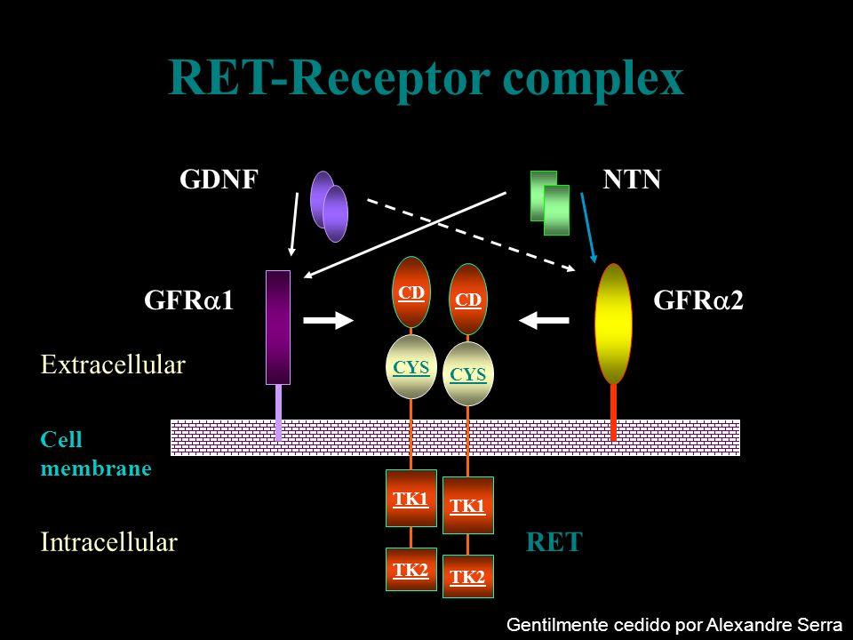 RET-Receptor complex GDNF NTN GFR1 GFR2 Extracellular Intracellular