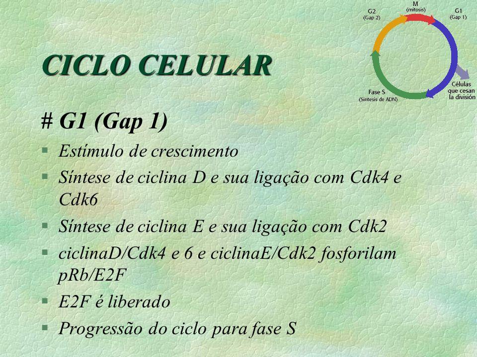 CICLO CELULAR # G1 (Gap 1) Estímulo de crescimento
