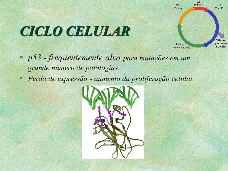 CICLO CELULAR p53 - freqüentemente alvo para mutações em um grande número de patologias.
