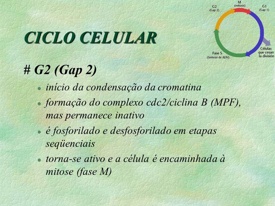 CICLO CELULAR # G2 (Gap 2) início da condensação da cromatina
