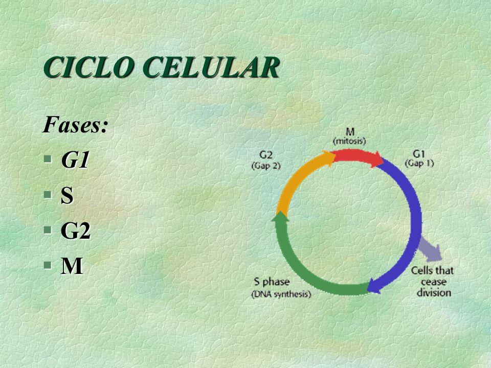 CICLO CELULAR Fases: G1 S G2 M