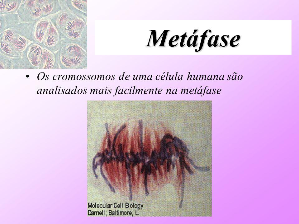 Metáfase Os cromossomos de uma célula humana são analisados mais facilmente na metáfase